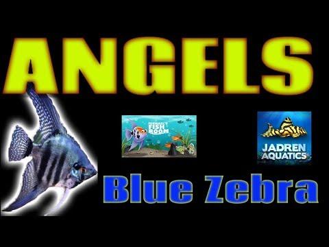 Blue Zebra Angelfish   Un Boxing Michael's Fish Room