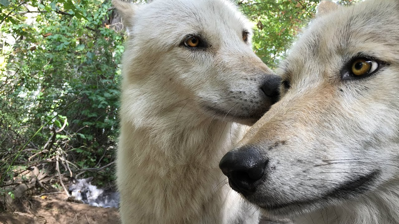 Wolf Kisses and Nibbles her Brother