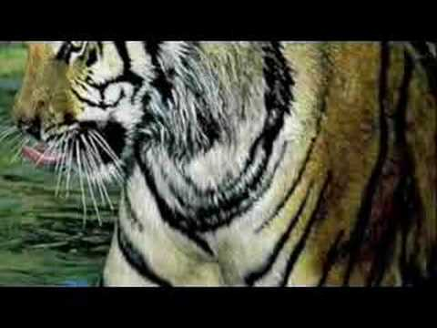 The Life Cycle of a Tiger - YouTube