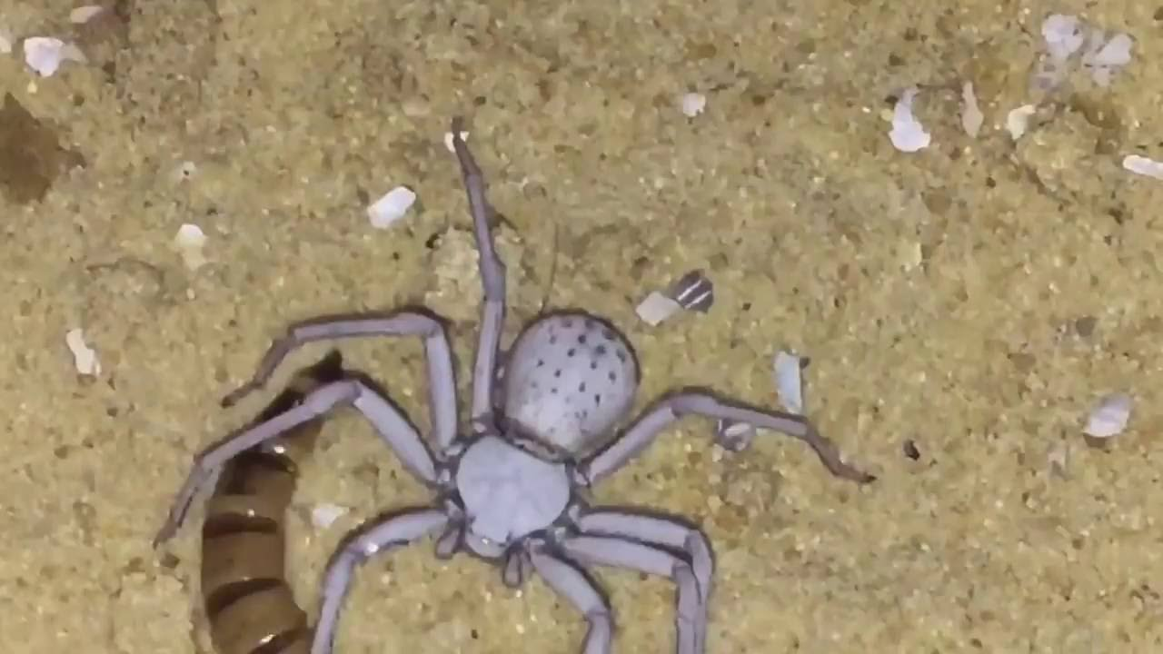 Female Sicarius Terrosus Six Eyed Sand Spider Feeding You