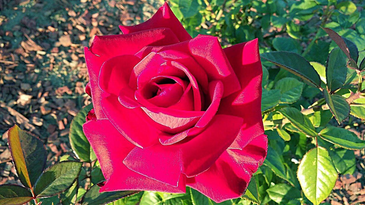 красные красивые розы картинки