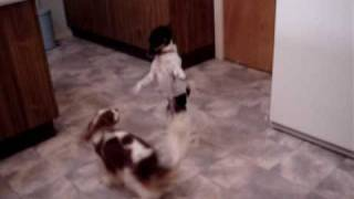 Eli & Tyson, Cavalier King Charles Spaniel And Jack Russel Foxie Play Fighting.
