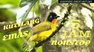 Full Kicau Kutilang Emas Nonstop 5 Jam Sangat Cocok Buat Pancingan Burung Kesayangan Anda