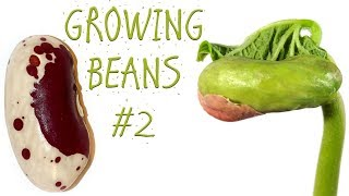 THE BEAN PLANT EXPERIMENT #2 (KIDNEY BEANS)