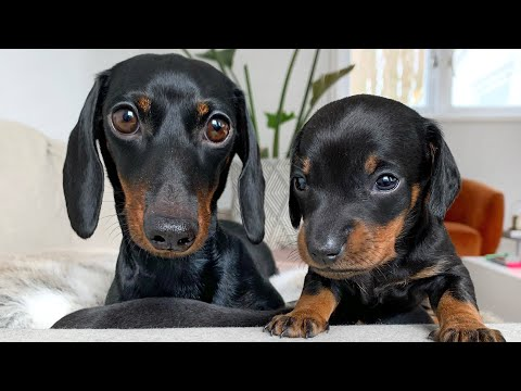 Dachshund puppies 25 days old.