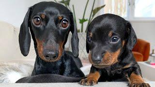 dachshund-puppies-25-days-old