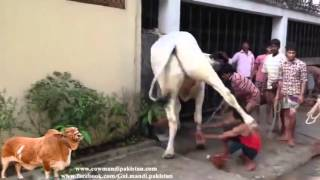 Awesome kick by dangerous cow bakra eid 2014   Video Dailymotion
