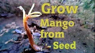How To Grow Mango Bonsai From Seed Part 1 Youtube