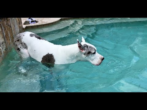 Happy Great Dane Allowed to Go For a Swim