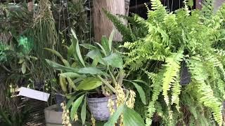 и снова орхидейная лавка в Тайланде, и снова покупки! Ринхостилисы, Ванды и др