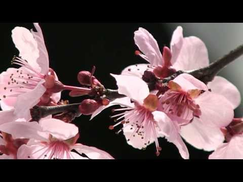 Blossom Time Lapse