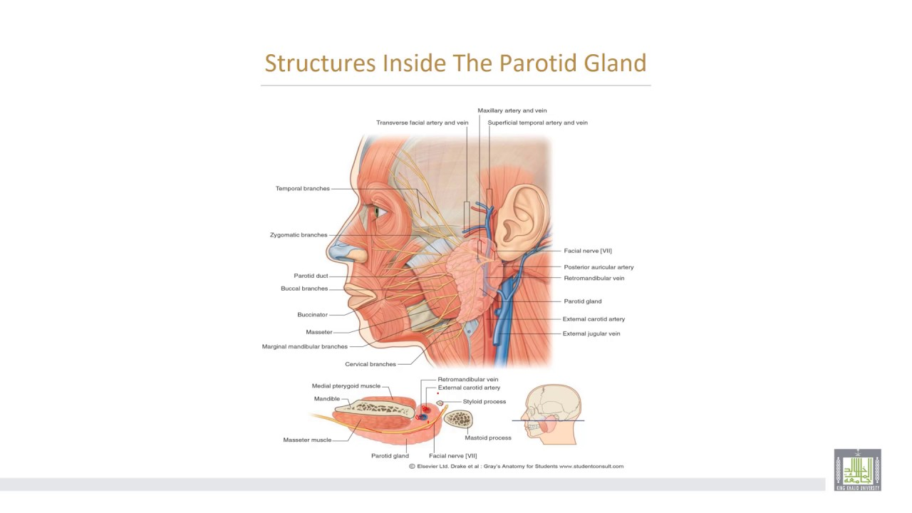 Anatomy 2 | U1 - L5-2 | Parotid gland - 2 - YouTube