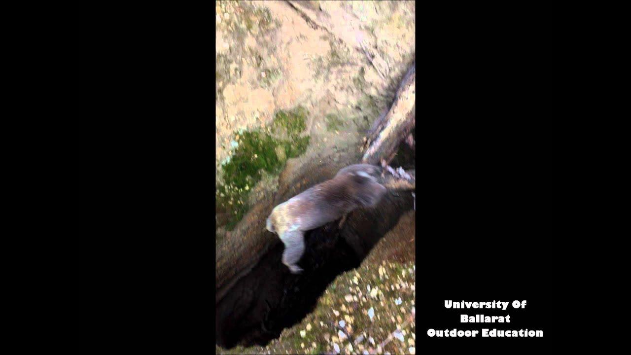 Le sauvetage d'un koala