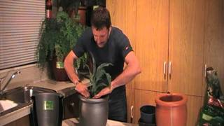 Grow Lush Peace Lily's In An Ozmozpot,self  Watering Container Of The Future By Bruce