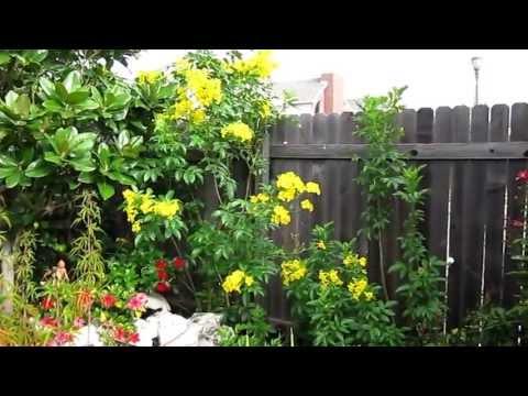 "Yellow Bells Esperanza (Bignoniaceae), Lisa's Landscape & Design ""Plant Pick Of The Day"" Lisa LaPaso"