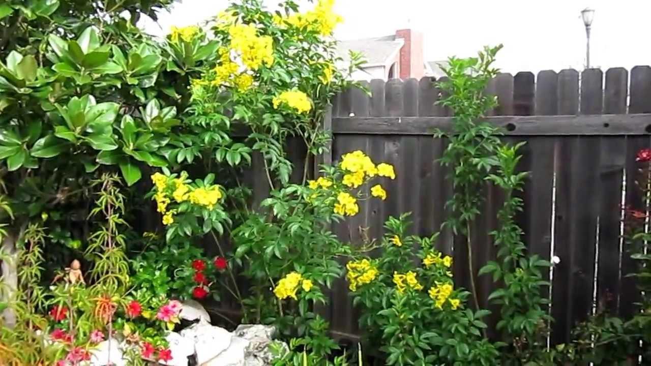 Yellow Bells Esperanza Bignoniaceae Lisa S Landscape