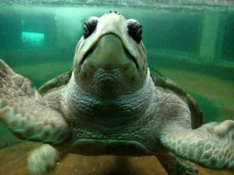 Liberen a jorge tortuga marina del acuario de mendoza for Acuario tortugas