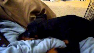Me Squeaking To Nerria Before Her Ears Were Cut(doberman Pinscher)