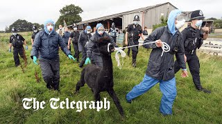 video: Geronimo the alpaca dead: Condemned animal culled by Defra