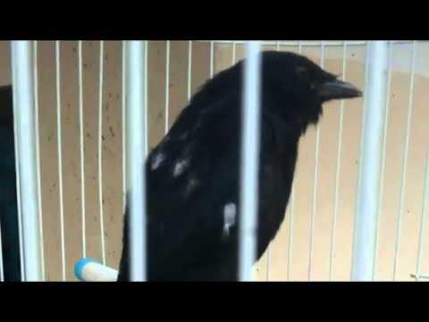 Burung Srigunting Hitam Drongo Jinak Isian Suara Bervariasi