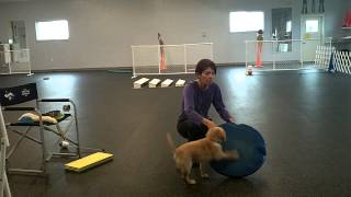 Sparks 8 week old puppy training