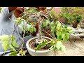 how to wiring bonsai peepal tree (fountain style)