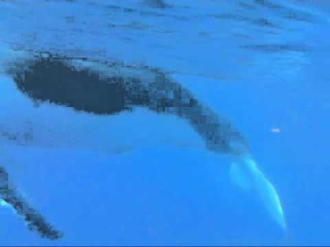 Baleines à bosse et leur chant magique.