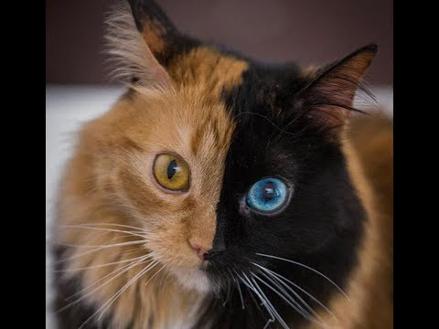 Meet Quimera, the cat who has two completely different sides to her face