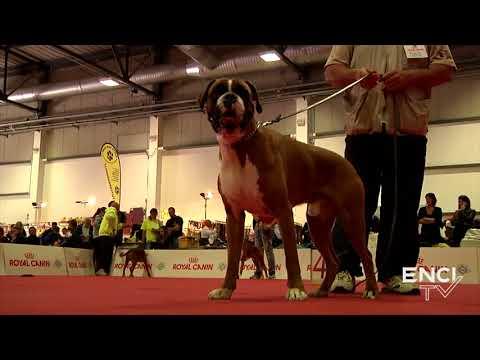 PERUGIA2017 - DOM15.FOCUS:Boxer Fulvo MASCHI