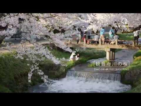 観音寺川の桜[DMC-G8 4K Test Shooting]