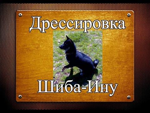 щенки шиба-ину и хаски - YouTube