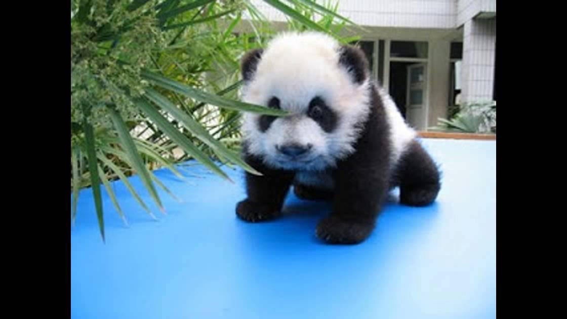 Oso Panda Tierno