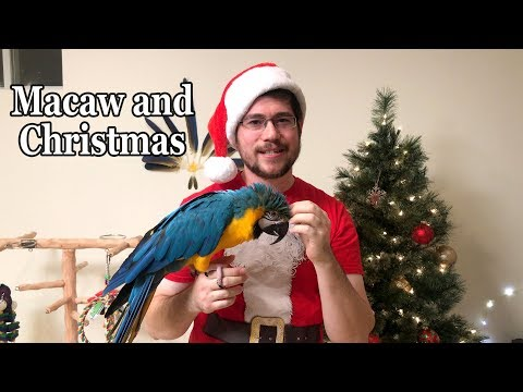 Rachel Blue and Gold Macaw Getting Ready for Christmas
