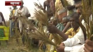 Govt's hybrid seeds fail to yield wheat; farmers burn crops