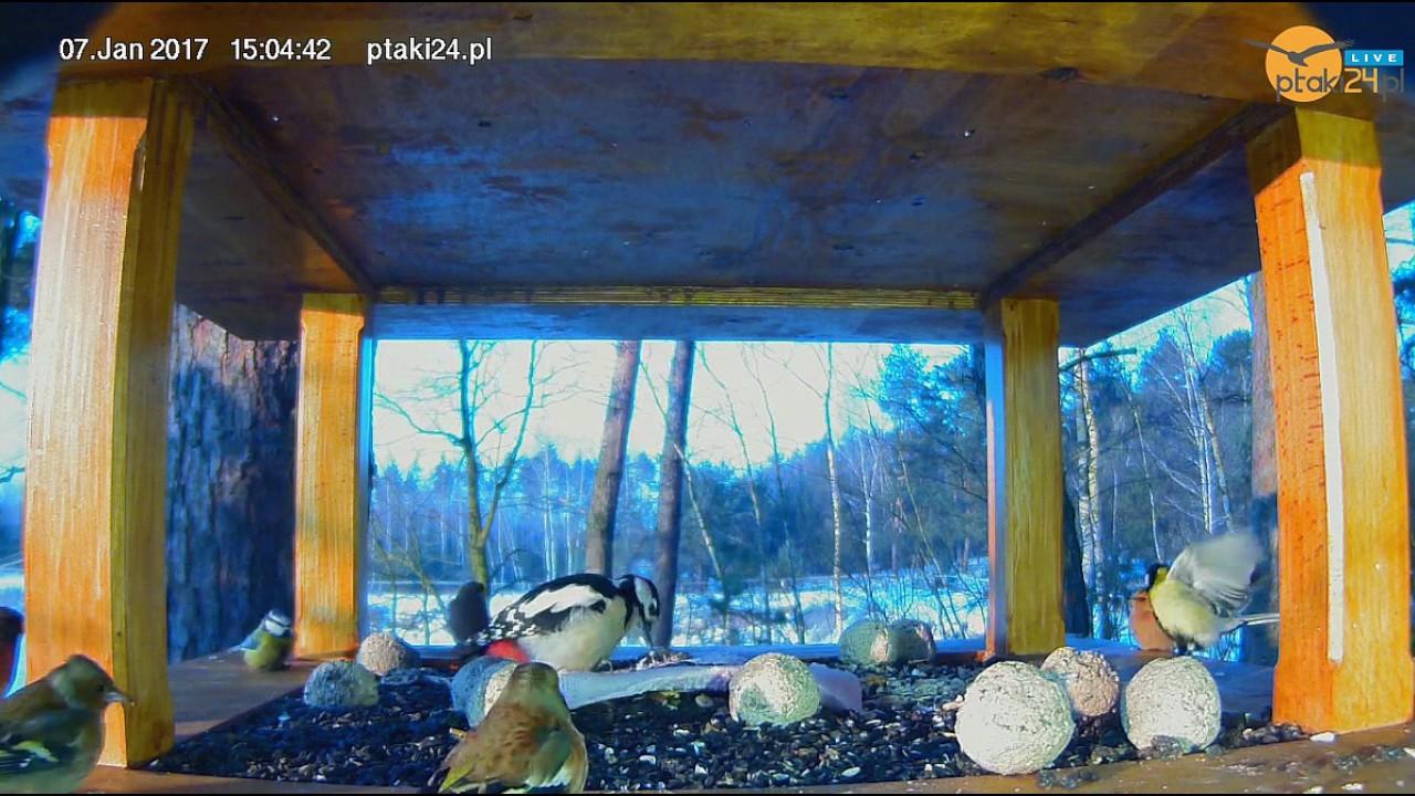 Dzięcioł duży, jery, zięby i sikorki w karmniku w lesie