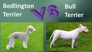 Bedlington Terrier VS Bull Terrier: Breed Comparison  Bull Terrier / Bedlington Terrier Differences