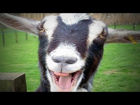 Funny Goats 🐐  Funny and Cute Goats (Full) [Funny Pets]