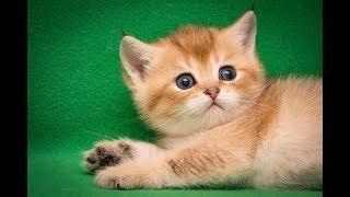 Кот Yarik Golden SunRay Британский котенок черного золотого тикированного окраса BRI ny 25