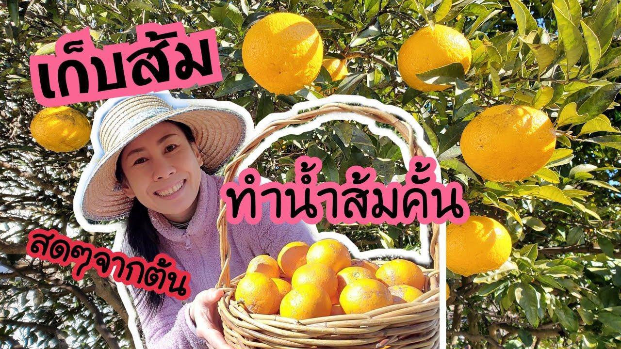 เก็บส้มสดๆจากต้น ทำน้ำส้มคั้นสดๆดื่ม