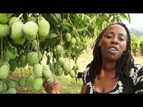 American Travelers visit Manza's Organic Farm on the Island of Nevis, Caribbean