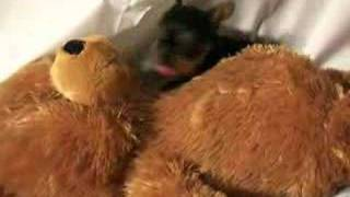 Silky Terrier Puppy Male 4-15-2008