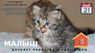 В каком возрасте можно забрать котенка домой из питомника? Отвечаю на давний вопрос