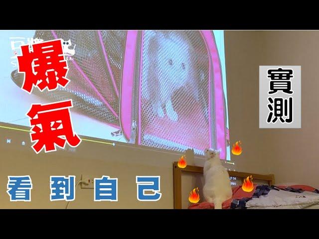 【豆漿 - SoybeanMilk】看到大螢幕的自己 貓咪爆氣動手了