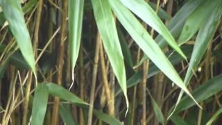 bambou tabashir gélules.MTS
