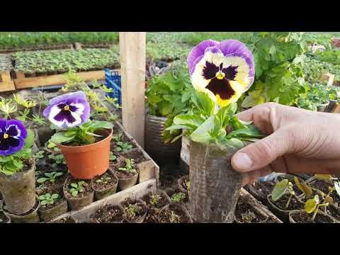 виола чем подкормить для обильного пышного цветения