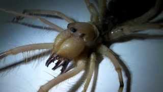 Camel Spiders can kill you! (And other camel spider myths)