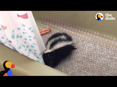 Skunk Found in Bathtub Rescued VERY CAREFULLY | The Dodo