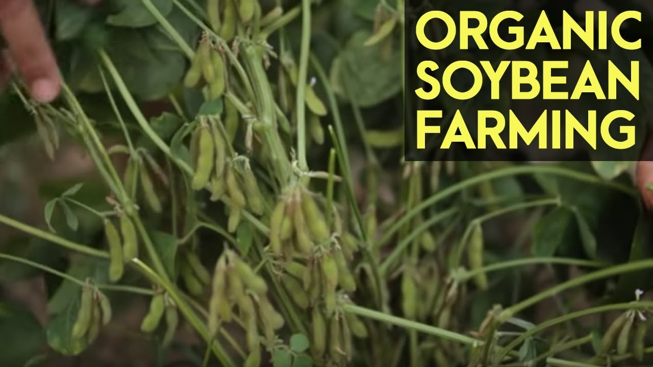 Organic Soybean Farming: Reviving the Soybean Industry in the Philippines