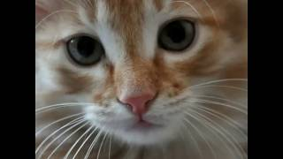 Слайд шоу про рыжих котов