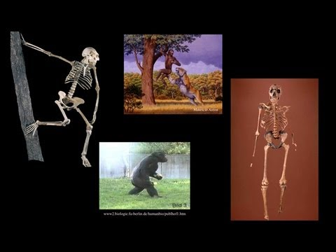 CARTA: Bipedalism and Human Origins-Comparative Anatomy from Australopithecus to Gorillas